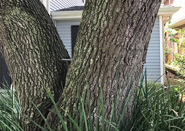 Risk Tree Service New Orleans Planting Tree Pruning
